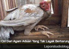 Kenali Ciri Dari Ayam Aduan Yang Tak Layak Bertarung
