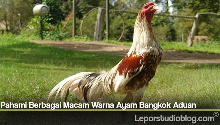 Pahami Berbagai Macam Warna Ayam Bangkok Aduan