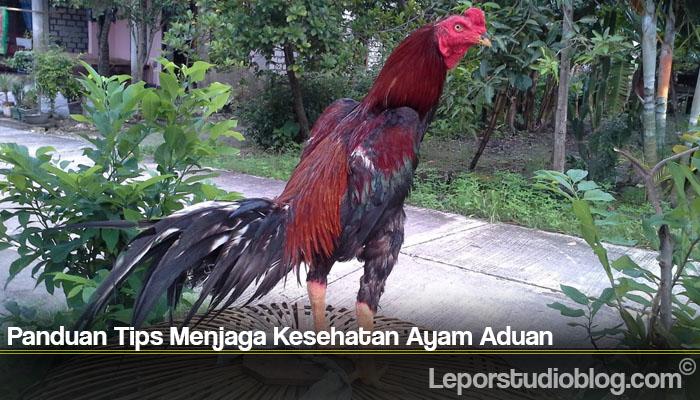 Panduan Tips Menjaga Kesehatan Ayam Aduan